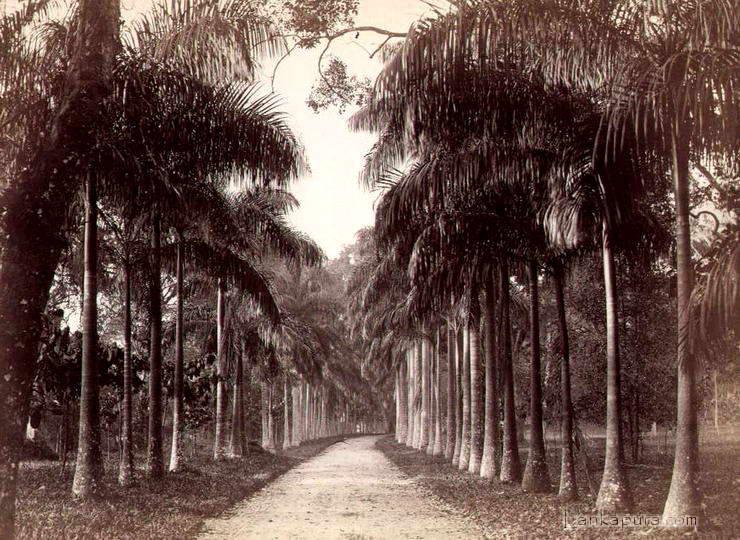 ceylon-paredenya-palms-colombo