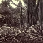 giant-ubber-tree_-ceylon