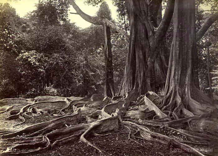 giant-ubber-tree_-ceylon