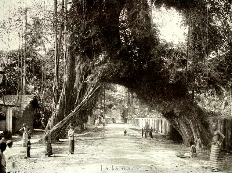 old-fig-tree-on-the-galle-road-near-kalutara