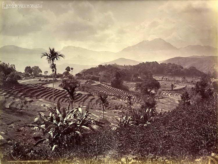 paddy-fields_-baddulla_-ceylon_-late-1800_s