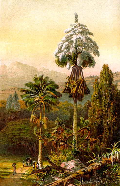 Talipot Palm-ceylon